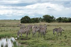 'Have you heard the one about.......?' (Tris Enticknap) Tags: africa zebra kenya plainszebra masaimara masaimaranationalreserve commonzebra equusquagga grantszebra equusquaggaboehmi