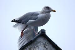 IMG_5571 Seagull, Portree, Scotland (Fernando Sa Rapita) Tags: scotland skye isleofskye portree animal ave pajaro gaviota bird seagull canon canoneos eos6d tamron tamron150600 teleobjetivo