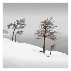 Dead and Alive (Vesa Pihanurmi) Tags: tree pine nature sea winter snow minimalism minimalistic finland helsinki vuosaari