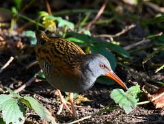 DSC_5211 (bonser54) Tags: wildbirds wildlife water langoldlake langold country park rail outdoors ngc nottinghamshire worksop