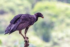 King Vulture (Mario Arana G) Tags: 7d ave bird birding bocatapada cr canon canon7d costarica florayfauna kingvulture marioarana nature naturephotography photography wildlife wildlifecostarica