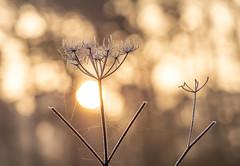 Sunlight bokeh (johnnewstead1) Tags: woodland sunlight morning nature bokeh light frost frosty morningsunlight earlymorning