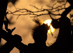 Squirrel silhouette (johnnewstead1) Tags: woodland sunlight morning nature squirrel wildlife silhouette morningsunlight earlymorning