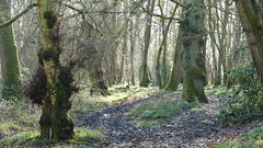 P1560898 (Pitzy's Pyx, keep snapping away!.) Tags: flitwickwood flitwick greensandtrust greensandtrustvolunteers lumixfz1000 woodlandmanagement a gst voles day wood with jamie proud ranger 21012020 our task clear edge back 10 metres allow room for wild spring flowers by coppicing hazel cutting ash suffering from dieback it was cool but sunny morning we had great fire