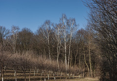_DSC2091 (towilmasz) Tags: tree wood grass winter birch landscape nature plant sky pond water woodland outdoors snow wilderness forest grove countryside road outdoor naturallandscape wilmowski