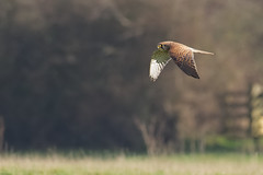 Kestrel (redmanian) Tags: kestrel bird birdofprey raptor ianredman