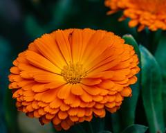 English Marigolds Brighten the Day (Stephen G Nelson) Tags: flower marigold calendula botanicalgarden tucson arizona