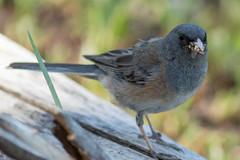 Mouthful in Wyoming (Ken Krach Photography) Tags: bird grandtetonnationalpark