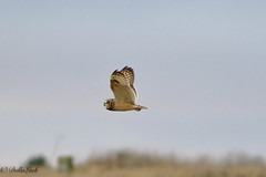Short-eared-Owl (Georgiegirl2015) Tags: shortearedowl dellalackwildlifephotography owls ornithology canon countryside coastal field farmland january2020 wintervisitor vole silent predator bogs winter wildlife nature cotswold hunter owl ef300mm 7dmkii