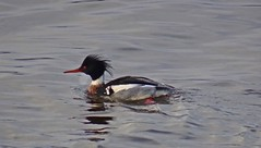 Water Robin (Bricheno) Tags: renfrew bird merganser redbreastedmerganser river clyde riverclyde duck sawbill bricheno scotland escocia schottland écosse scozia escòcia szkocja scoția 蘇格蘭 स्कॉटलैंड σκωτία