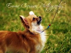 Long Coat Chihuahua (Emma Martha) Tags: chihuahua longcoated dog show blackpool