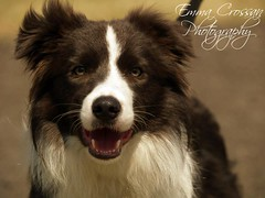 Border Collie (Emma Martha) Tags: border collie show dog