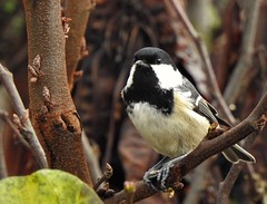 Mésange noire (chriscrst photo66) Tags: bird animal oiseau passereau mésangenoire nature wildlife photographie photography gironde aquitaine ornithologie ornithology nikon