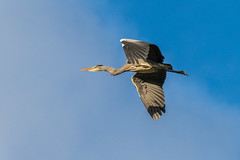 Grey Heron (Maria-H) Tags: greyheron ardeacinerea flight oldglossop derbyshire highpeak uk olympus omdem1markii panasonic 100400