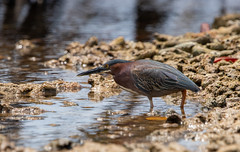 Green Heron (Ronald Bergkamp) Tags: greenheron ncg groenereiger curacao