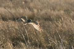 Short Eared Owl-9417 (WendyCoops224) Tags: 100400mmlmk2 80d fens canon eos ©wendycooper asio flammeus short eared owl