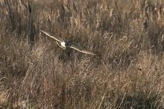 Short Eared Owl-9303 (WendyCoops224) Tags: 100400mmlmk2 80d fens canon eos ©wendycooper short eared owl asio flammeus
