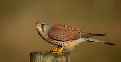 Male Kestrel (Nigey2) Tags: bird birds birdofprey wildlife wild wildlifeconservation wildbirds animal animals raptor raptors canon