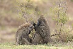 Olive Baboon - Papio anubis (rosebudl1959) Tags: olivebaboon zebraplainsmaracamp masaimara november 2019