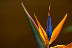 Strelitzia (pstenzel71) Tags: blumen natur pflanzen craneflower strelitzie strelitzia darktable flower bokeh ilce7rm3 sel90m28g