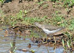 Maçarico-solitário (Tringa solitaria)_4377 FF (Wptjunior) Tags: bird birdingwatching wptjunior aves ave fotografia foto fauna photograph photo nikon natureza nature