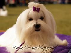 Maltese Show Dog (Emma Martha) Tags: maltese dog show
