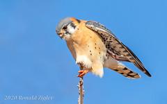 American Kestrel IMG_0973 (ronzigler) Tags: american kestrel falcon raptor bird birdwatcher nature avian sigma 150600mm canon 60d falco sparverius