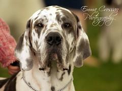 Great Dane (Emma Martha) Tags: great dane dog dogs