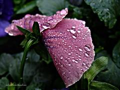 Se cerro el pensamiento  !!! (adioslunitaadios) Tags: pensamiento lluvia gotas pétalos ·petalos lilasplantas y floresfloresaire libre campo jardín fujifilm macro
