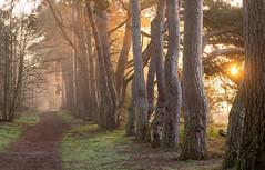 Morning sunlight (johnnewstead1) Tags: woodland sunlight morning nature morningsunlight earlymorning sunrise tree trees landscape