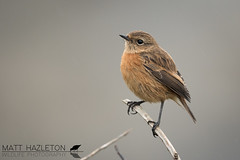 Stonechat (Matt Hazleton) Tags: bird wildlife animal nature outdoor canon canoneos7dmk2 canon500mm eos 7dmk2 500mm matthazleton matthazphoto cornwall falmouth stonechat saxicolarubicola pendennispoint