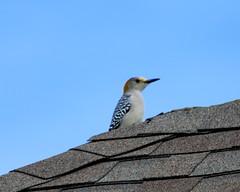Golden Fronted Woodpecker (austexican718) Tags: centraltexas hillcountry wildlife backyard bird woodpecker avian animal roof nature