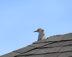 Golden Fronted Woodpecker (austexican718) Tags: centraltexas hillcountry wildlife backyard bird woodpecker avian animal roof nature