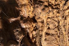 Meta ovalis, Inhaling Bat Cave, Van Buren County, Tennessee (Chuck Sutherland) Tags: vanburencounty tennessee tn cave karst geology macro spider animalia arthropoda chelicerata arachnida araneae araneomorphae tetragnathidae meta movalis metaovalis orbweaver longjawed caveorbweaver