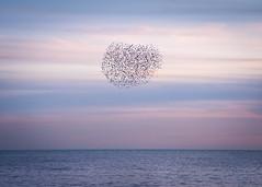 starling love (Emma Varley) Tags: starling murmuration brighton beach evening heart starlings sunset colours pink blue