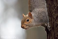 _MG_2312-web (ross.photography) Tags: scoiattolo grigio parco castello monza