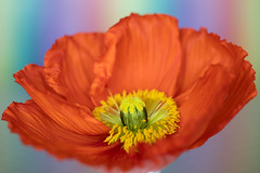flower macro 21-01-2020 001 (swissnature3) Tags: macro flowers poppy nature
