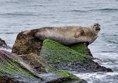 Harbor Seal (Kelly_MR) Tags: rudeewinterwildlifeexploration harbor seal sealonricks chesapeakebay flippers rocks harborseal sealife seamammal