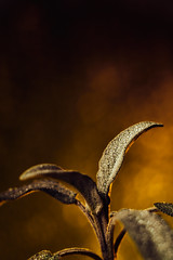 Sage (graemes83) Tags: flash plant nature natural sage herb leaves leaf water drops closeup macro