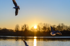 Sunset (haziri.heroid) Tags: nikon z 6 z6 sunset nikkor70200 vogel bird see lake bayern landschaft landscape