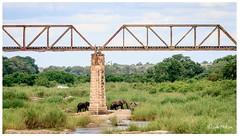Crossing the River (FidoPhoto (John McKeen)) Tags: krugernationalpark southafrica wildlife wildlifephotography wildanimal wildanimals africa african africananimal africanwildlife skukuza skukuzarestcamp elephant elephants selatirailwaybridge sabieriver sabie safari copyrightjohnmckeen
