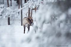Reindeer! (petergranström) Tags: approved reindeer ren snow snö trees träd horn