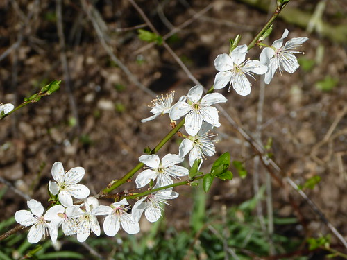 March - early fruit blossom