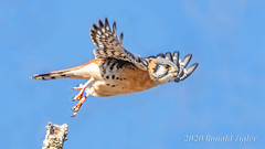 American Kestrel taking off IMG_0966 (ronzigler) Tags: american kestrel falcon raptor bird birdwatcher nature avian sigma 150600mm canon 60d falco sparverius