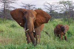 Eléphant au couchant (http://phj.bookfoto.com/) Tags: kenya parc meru animaux afrique animal sauvage wild philippe jubeau elephant