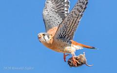 American Kestrel in-flight with prey IMG_1210 (ronzigler) Tags: american kestrel falcon raptor bird birdwatcher nature avian sigma 150600mm canon 60d falco sparverius
