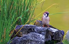Sparrow (VERODAR) Tags: sparrow bird wildlife wildbirds nature natureandwildlife grass river rock nikon verodar veronicasridar