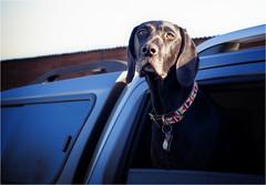 The Vet's Dog (Fitzpaine) Tags: dog car window vet vetinary davidjdalley somerset staplefitzpaine taunton tauntondeane uk england xt3 fujifilmxt3 fujixt3 collar hound backseatdriver passenger