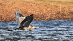 Blue Heron-4541-3 (vdrobphoto) Tags: heron blueheron birds feathers wildlife water canon coth5