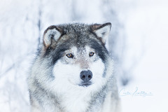 So soft and adorable and yet so dangerous. (CecilieSonstebyPhotography) Tags: bokeh markiii winter langedrag closeup canon5dmarkiii endangered scandinaviangraywolf january canon wolf portrait snow specanimal